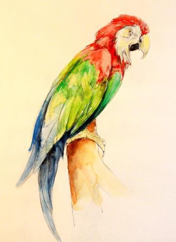 Papagei (colorierte Zeichnung) HOPP´s MAL Kunstschule